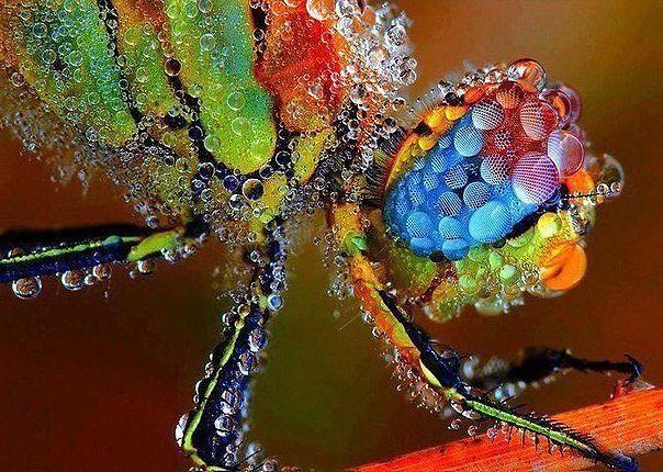 Стрекоза, покрытая росой