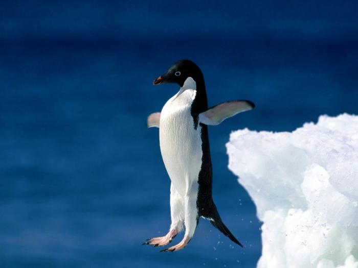 Adelie-Penguin-Skoki (700x525, 155Kb)