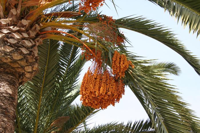 Phoenix_dactylifera_Murcia_Spain (700x466, 535Kb)