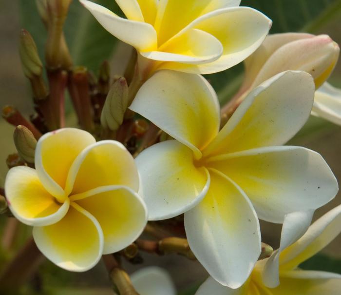 Suan_Luang_park_Plumeria_flowers_Bangkok_Thailand (700x605, 347Kb)
