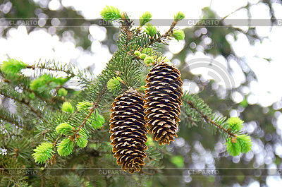 3040768-cones-on-fir-tree (400x265, 95Kb)