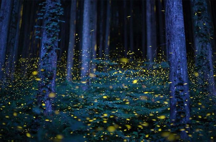 11-Светлячки в лесу - завораживающее зрелище в Японии (700x461, 419Kb)