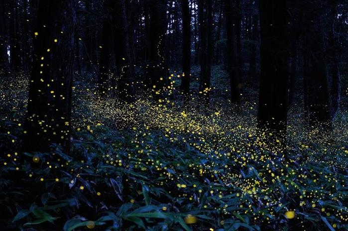 2-Сказочный лес светлячков от Цунеяки Хирамацу (700x464, 411Kb)