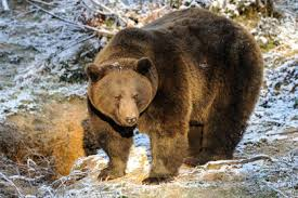 медведь бурый/3881693_009 (275x183, 12Kb)
