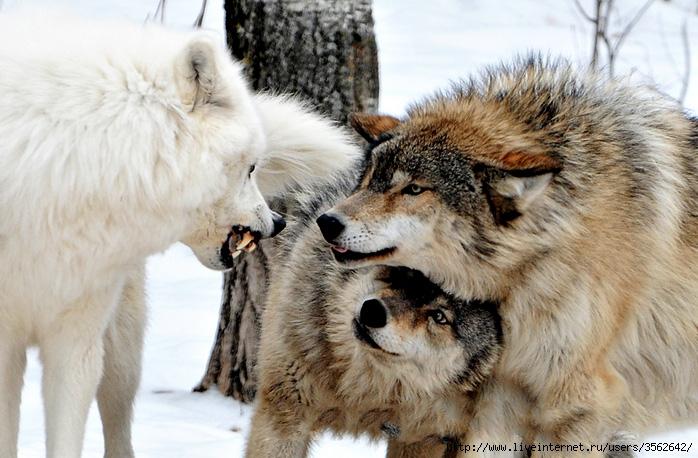 wolves (698x458, 251Kb)
