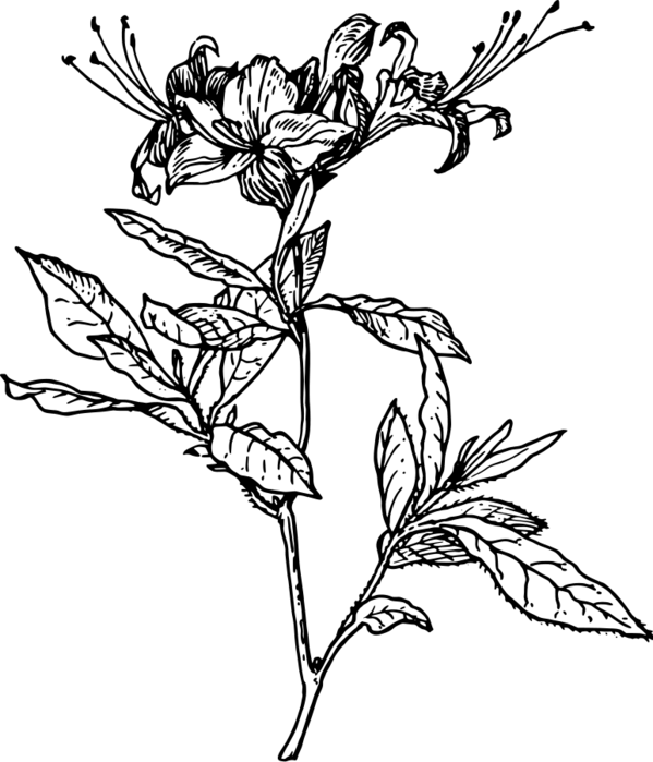 17299-azalea-vector (599x700, 100Kb)