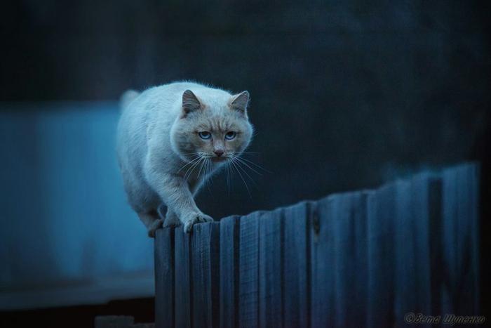 кот на заборе (700x467, 240Kb)