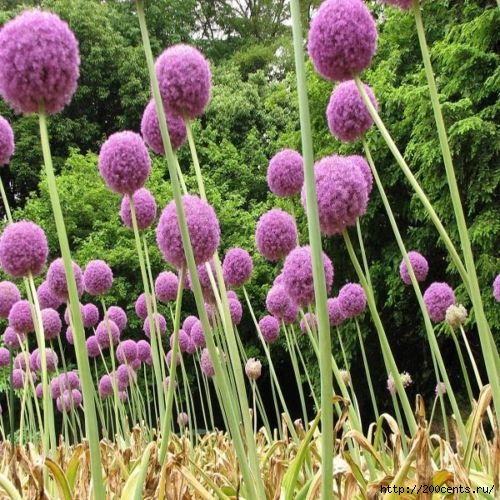 100 Purple Giant Allium Giganteum Beautiful Flower Seeds Garden Plant the budding rate 95% rare flower for kid/5863438_100PurpleGiantAlliumGiganteumBeautifulFlowerSeedsGardenPlantthebuddingrate95rareflower2 (500x500, 224Kb)
