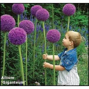100 Purple Giant Allium Giganteum Beautiful Flower Seeds Garden Plant the budding rate 95% rare flower for kid/5863438_100PurpleGiantAlliumGiganteumBeautifulFlowerSeedsGardenPlantthebuddingrate95rareflower5 (300x300, 26Kb)