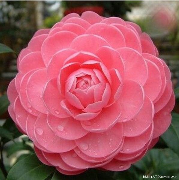 Camellia four seasons household rare flower seeds indoor garden potted plant bonsai seeds free shipping size 1.5cm 2pcs SA0015/5863438_Kameliichetiresezonabitovoisemyanredkihcvetovvnytrenniisadrastenievgorshkebonsaibesplatnayadostavkarazmer01 (597x600, 174Kb)