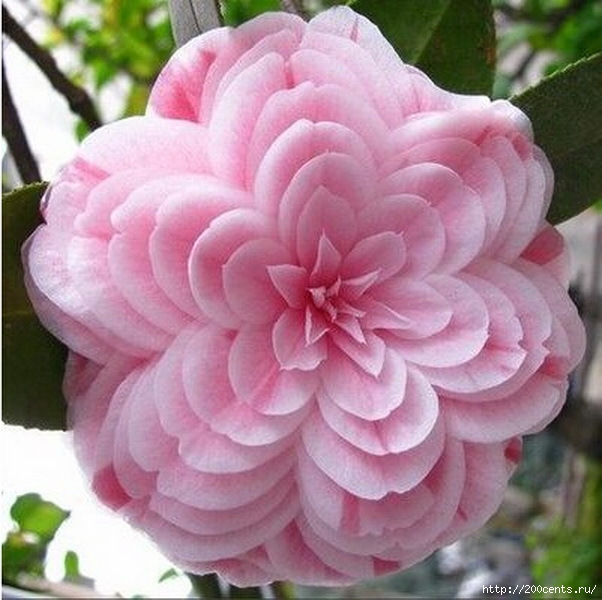 Camellia four seasons household rare flower seeds indoor garden potted plant bonsai seeds free shipping size 1.5cm 2pcs SA0015/5863438_Kameliichetiresezonabitovoisemyanredkihcvetovvnytrenniisadrastenievgorshkebonsaibesplatnayadostavkarazmer11 (602x600, 183Kb)