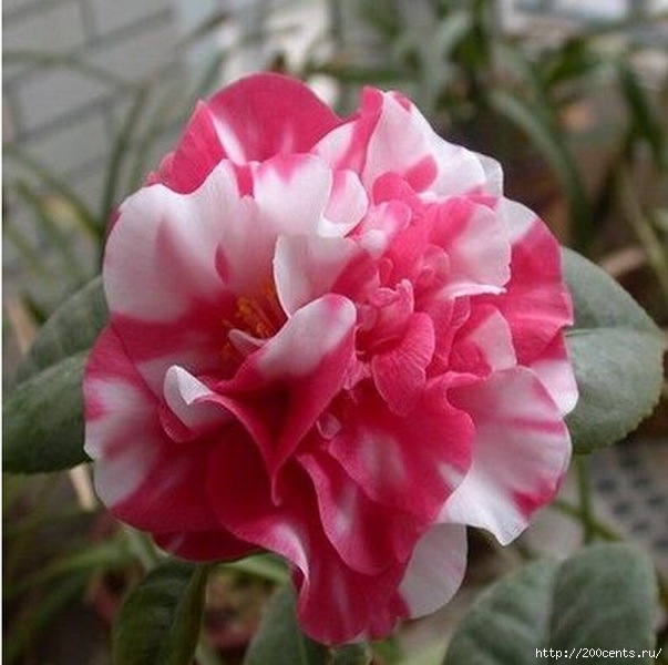 Camellia four seasons household rare flower seeds indoor garden potted plant bonsai seeds free shipping size 1.5cm 2pcs SA0015/5863438_Kameliichetiresezonabitovoisemyanredkihcvetovvnytrenniisadrastenievgorshkebonsaibesplatnayadostavkarazmer18 (603x600, 166Kb)