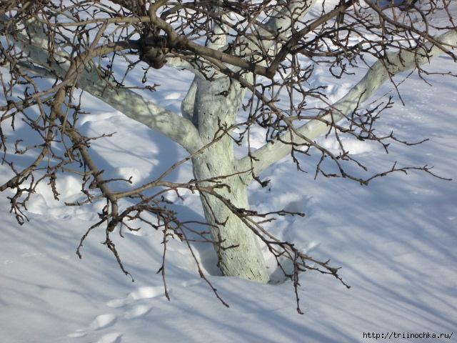 Зимняя побелка деревьев/4059776_Zimnyaya_pobelka_derevev (640x480, 252Kb)