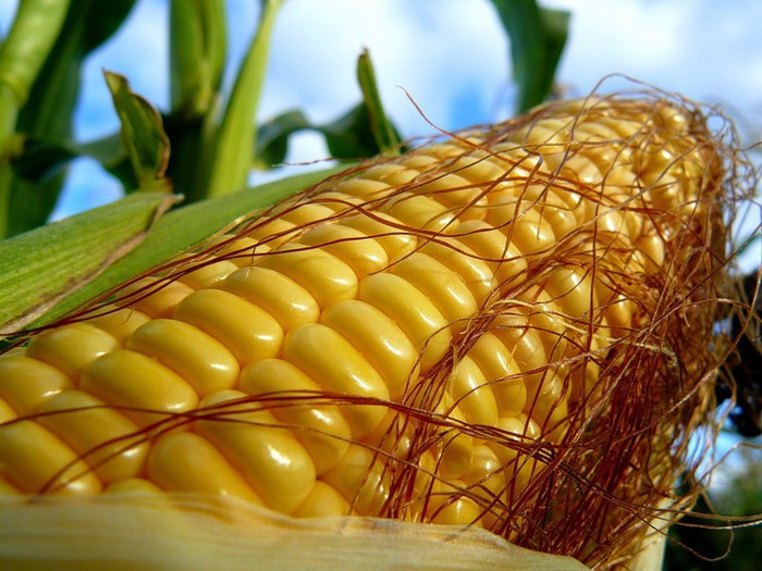 кукуруза/2976276_30152_1_ (700x525, 111Kb)