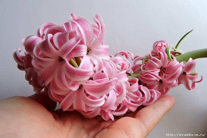 гиацинт розовый (9) (700x466, 212Kb)