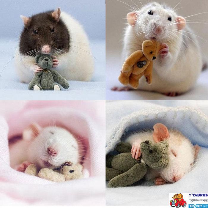 rats (700x700, 97Kb)