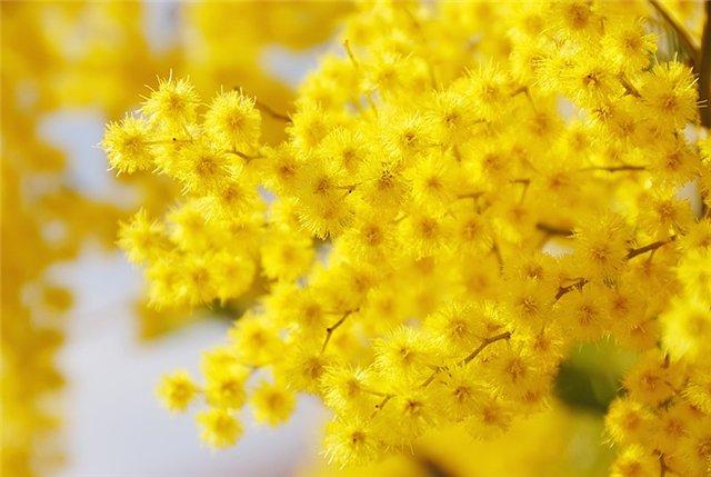 mimoza (640x429, 49Kb)