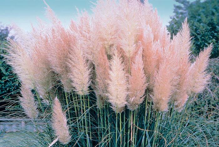 пампасная трава 2 (700x469, 486Kb)