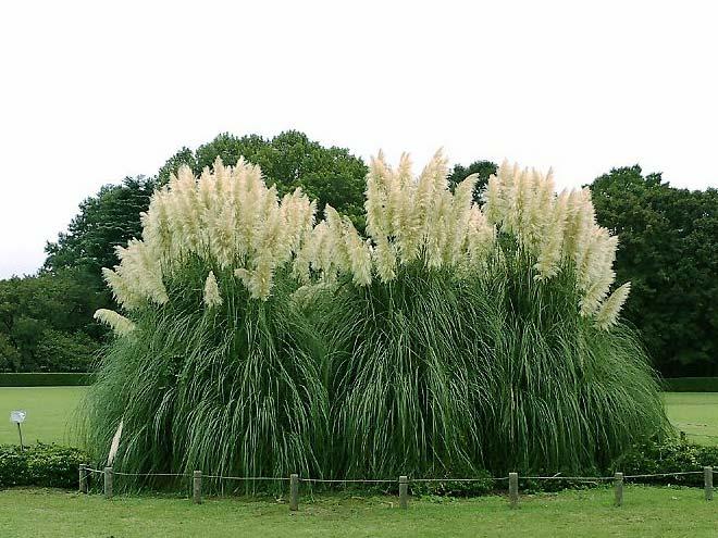 пампасная трава 15 (660x495, 340Kb)