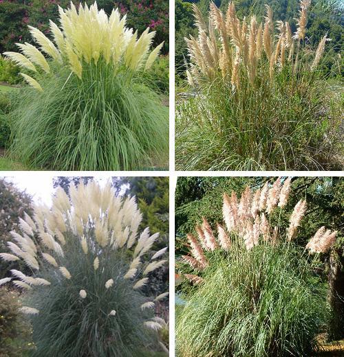 пампасная трава 17 (500x520, 364Kb)