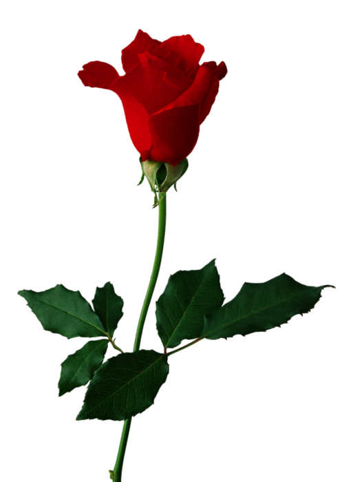 5495565_Rose1 (497x700, 136Kb)