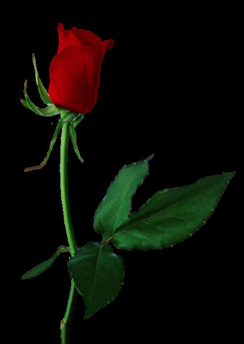 5495565_Rose3 (497x700, 145Kb)