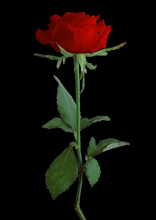 5495565_Rose5 (497x700, 139Kb)