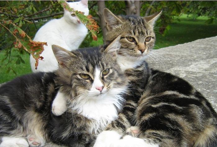 "alt=""Секс барьер для кошек""/2835299__1_ (700x475, 278Kb)"