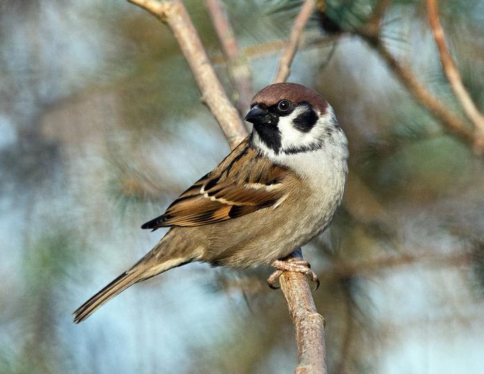 sparrow27 (700x541, 418Kb)