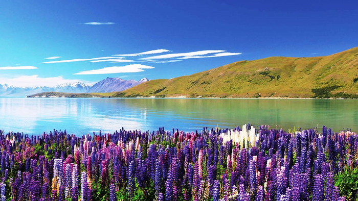 Lake-Tekapo-Flowers (700x394, 376Kb)