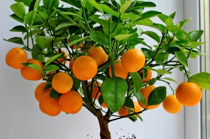 мандарин  обычной косточки (700x466, 114Kb)