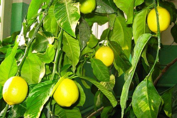 Лимон из косточки2 (600x400, 68Kb)
