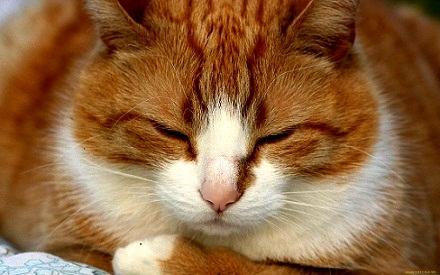 домашний кот (440x275, 95Kb)