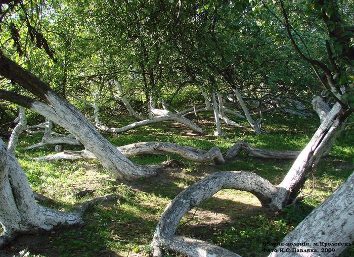 Яблуня-колонія (700x509, 694Kb)