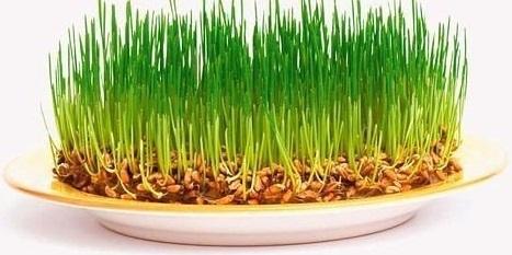 Проростки пшеницы (467x233, 47Kb)