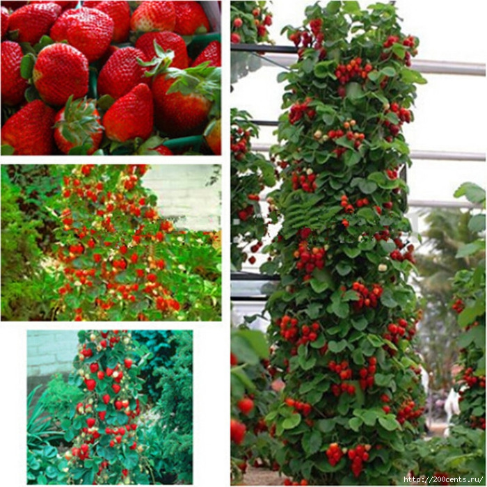 Giant Climbing Strawberry Seeds & Rare Color Strawberry Fruit seeds home Garden DIY for bonsai 20pcs/5863438_GiantClimbingStrawberrySeedsRareColorStrawberryFruitseedshomeGardenDIYforbonsai20pcs3 (700x700, 356Kb)