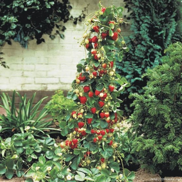Giant Climbing Strawberry Seeds & Rare Color Strawberry Fruit seeds home Garden DIY for bonsai 20pcs/5863438_GiantClimbingStrawberrySeedsRareColorStrawberryFruitseedshomeGardenDIYforbonsai20pcs2 (700x700, 343Kb)