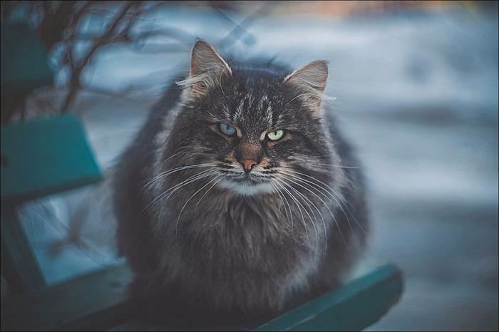 кот с разными глазами/2976276_24776924754_3fdf73e1ff_b (700x466, 75Kb)