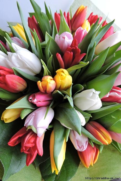 Тюльпаны ДР (1) (466x700, 280Kb)