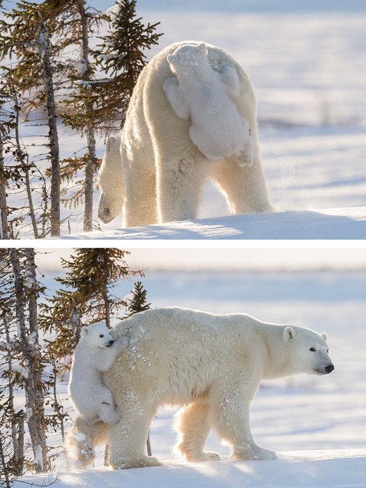 milye-fotografii-polyarnyh-medvedej-2 (1) (525x700, 111Kb)