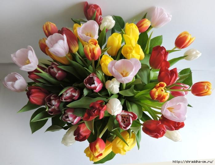 Тюльпаны ДР (23) (700x538, 267Kb)