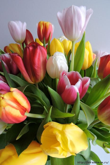 Тюльпаны ДР (28) (466x700, 241Kb)