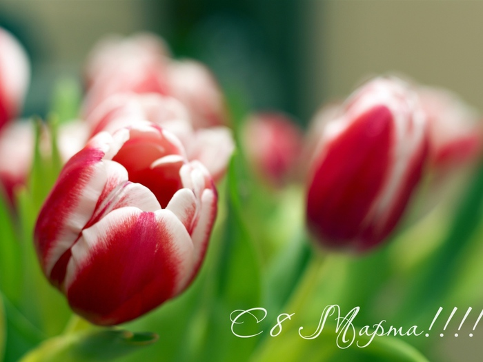 Holidays___International_Womens_Day_Spring_tulips_on_March_8_057352_1 (700x525, 98Kb)