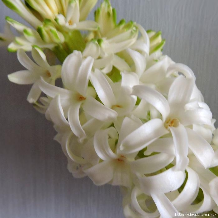 белый гиацинт (4) (700x700, 289Kb)