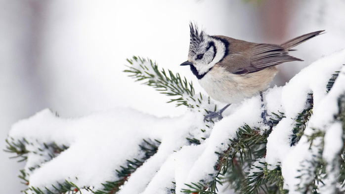 bird_tufted_small_unusual_beak_breast_snow_ultra_3840x2160_hd-wallpaper-364699 (700x393, 210Kb)