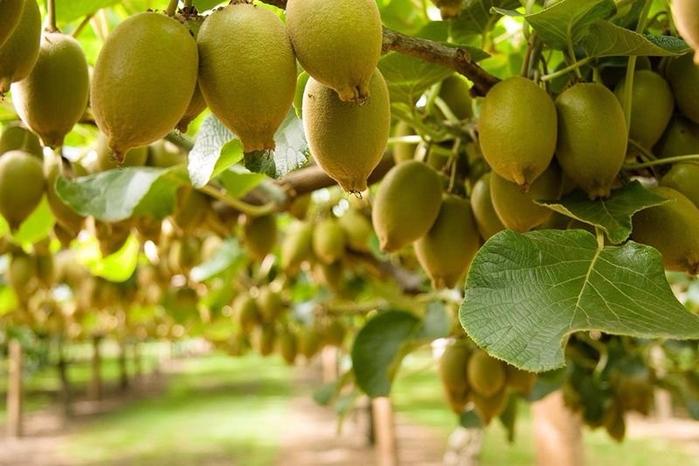 как выращивают киви 7 (700x466, 350Kb)