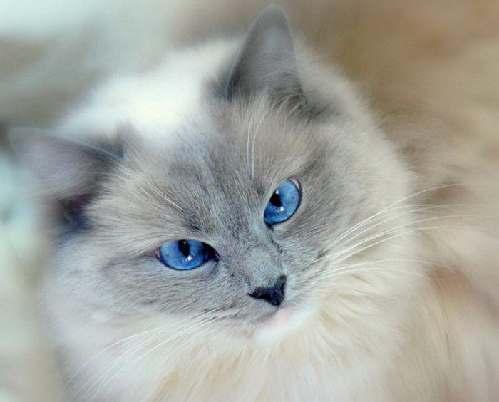cats_10 (700x564, 204Kb)