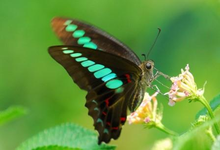 lepidoptera (448x305, 15Kb)
