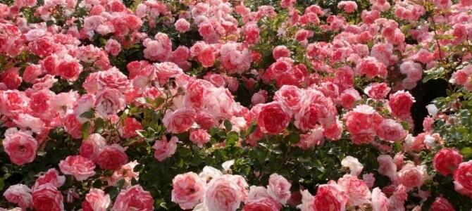 роз сад2 (670x300, 102Kb)