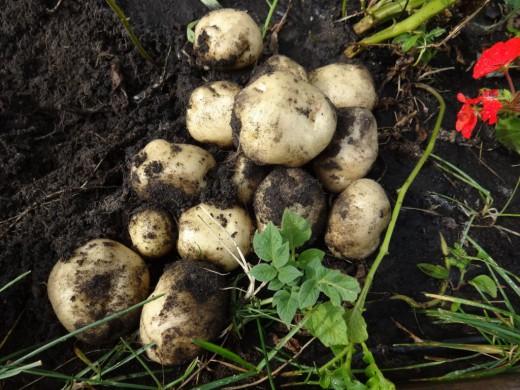 Potato-seedling-01-520x390 (520x390, 235Kb)